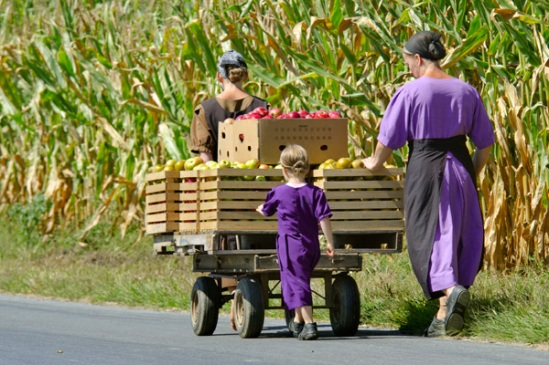amish-apple-harvest3