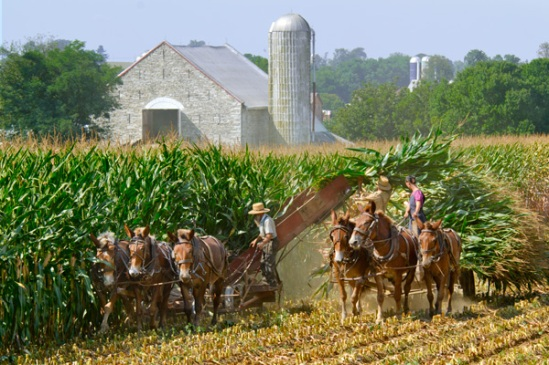 amish-at-harvest