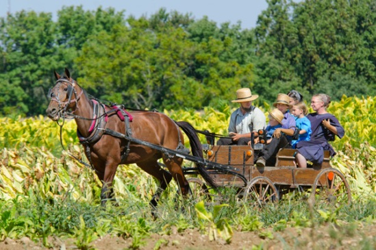 amish-buggy-in-field