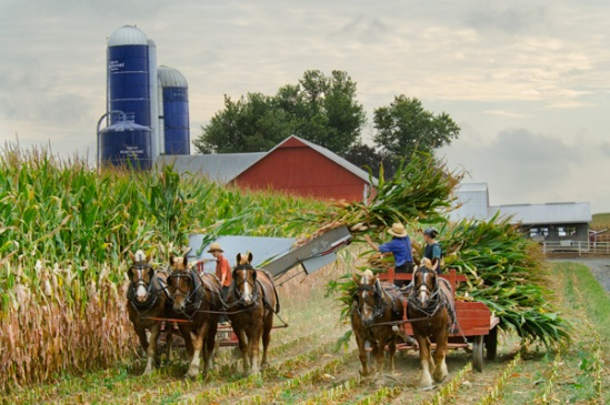 amish-corn-collecting
