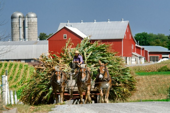 amish-corn-hauling