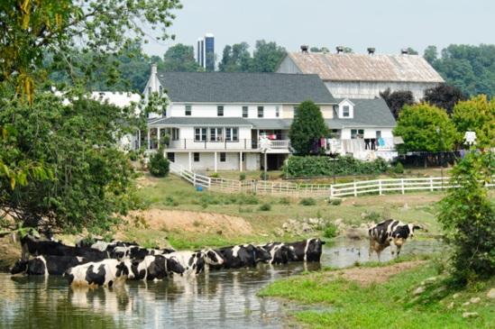 amish-cows-in-stream