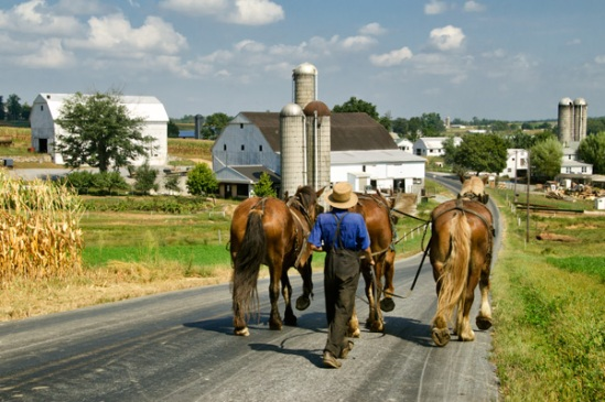 amish-walking-horses