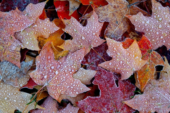 autumn-frosty-leaves