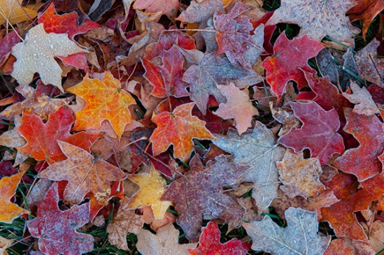 autumn-frosty-leaves2