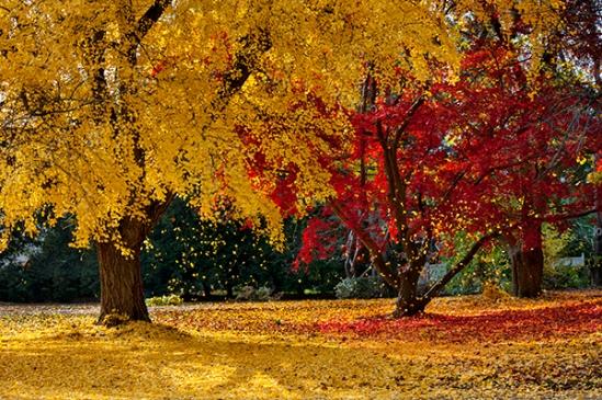 ephrata-autumn-ginko