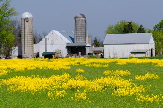 new-holland-mustard-field