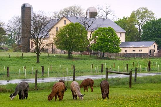 llamas-by-farm