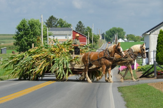 amish-corn-wagon