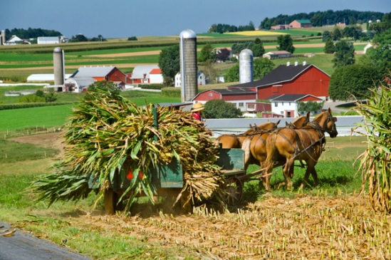 rynear-road-corn-harvest