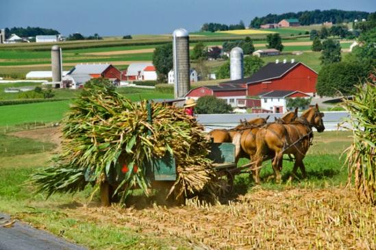 rynear-road-corn-harvest