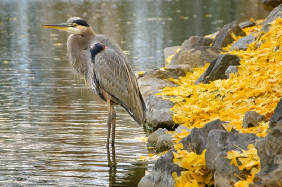 heron-in-autumn